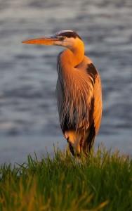 blue.heron