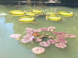 Varieties of water lilies at the Sarah P. Duke garden at Duke University